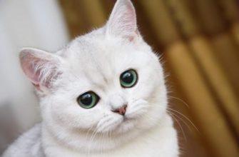Лишай у кошек как бороться с лишаем