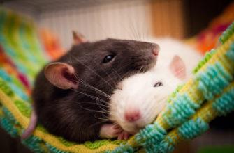 Сонники про крыс