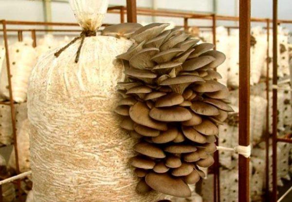 Как выбрать грибы для выращивания